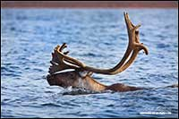 Barren-ground caribou swimming near Point Lake Northwest Territories by Robert Berdan