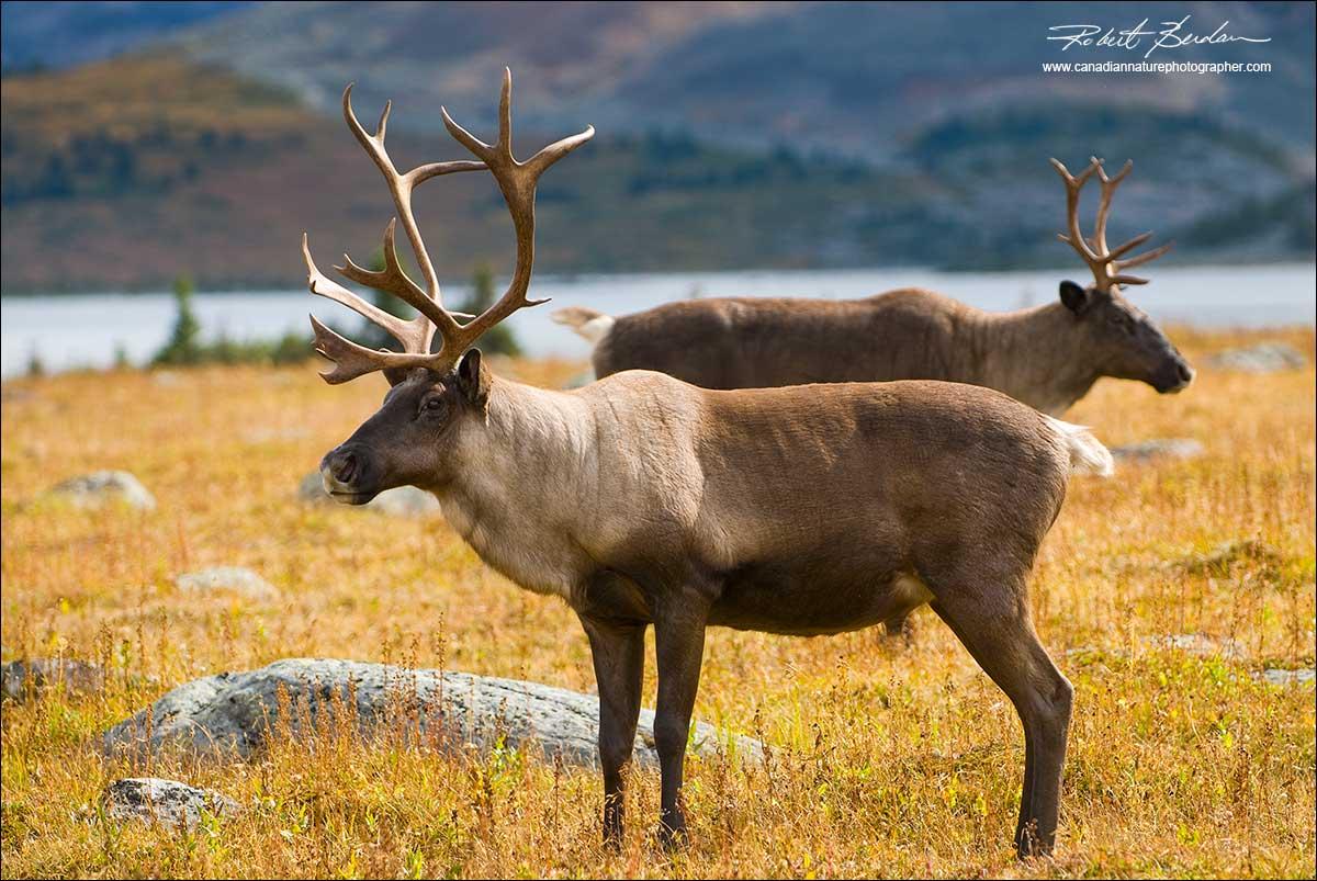 The Canadian Nature Photographer - Caribou Photography ...