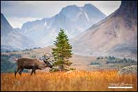 Mountain Caribou Tonquin Valley Jasper National park by Robert Berdan