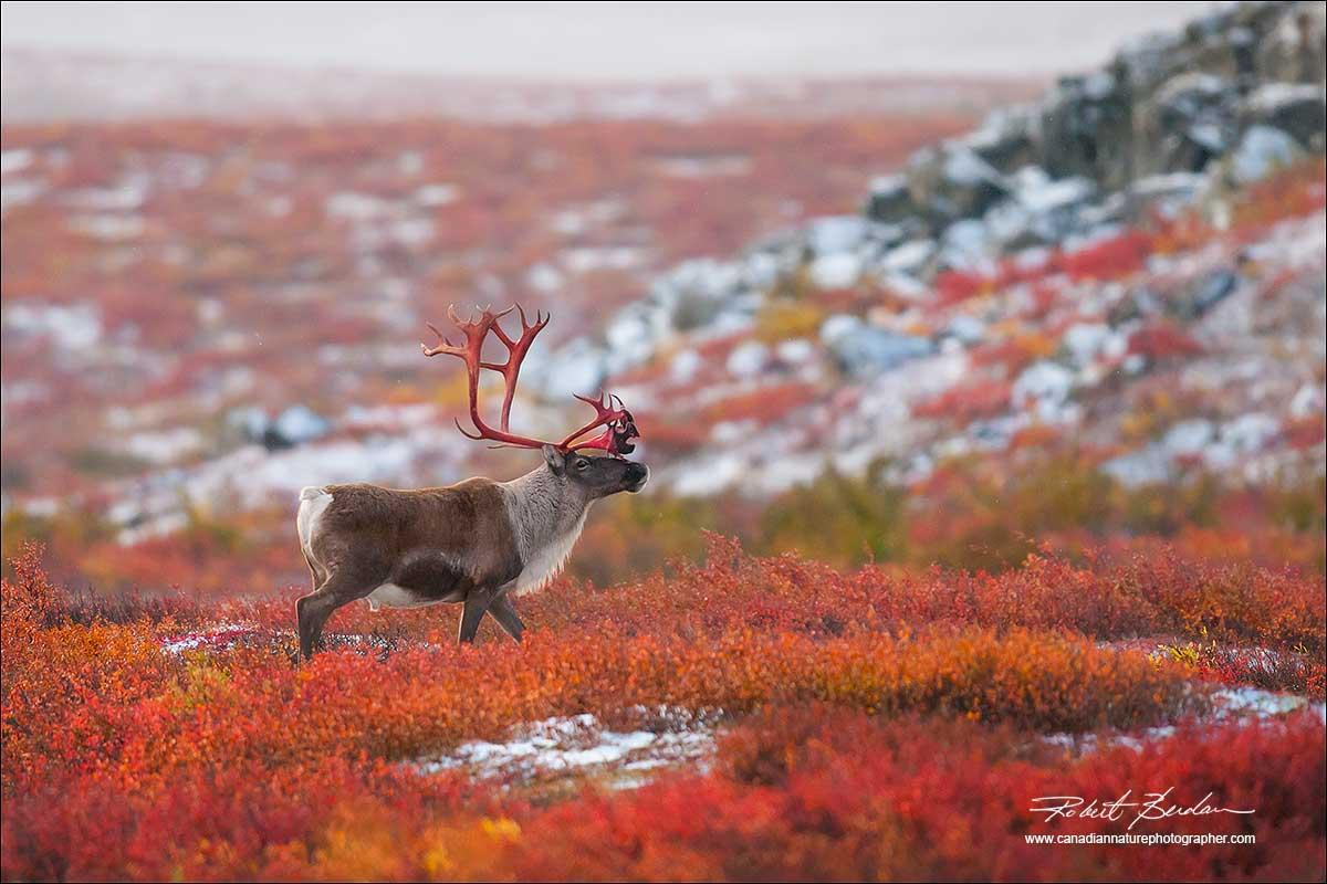 caribou24.jpg