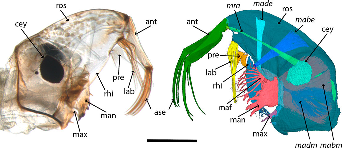 Chaoborus obscuripes larval head morphology