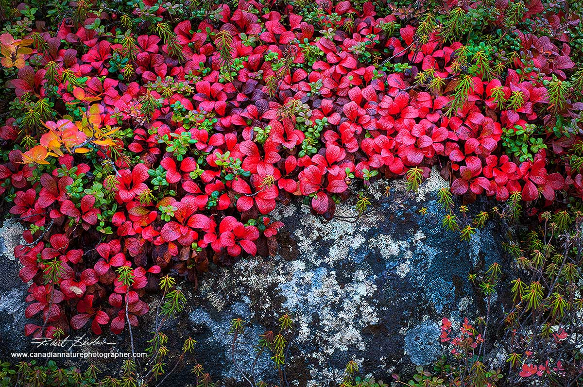 Bearberry creates brilliant reds in Autumn on the tundra  by Robert Berdan ©