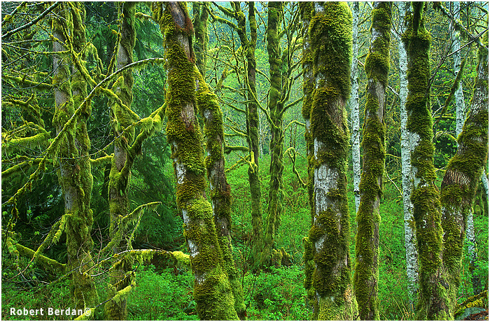 Alders on Vancouver Island with complex patterns of moss by Robert Berdan ©