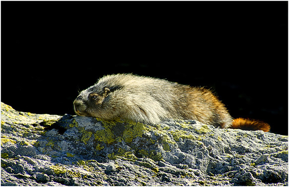 Hoary Marmot on a rock with black background by Robert Berdan ©