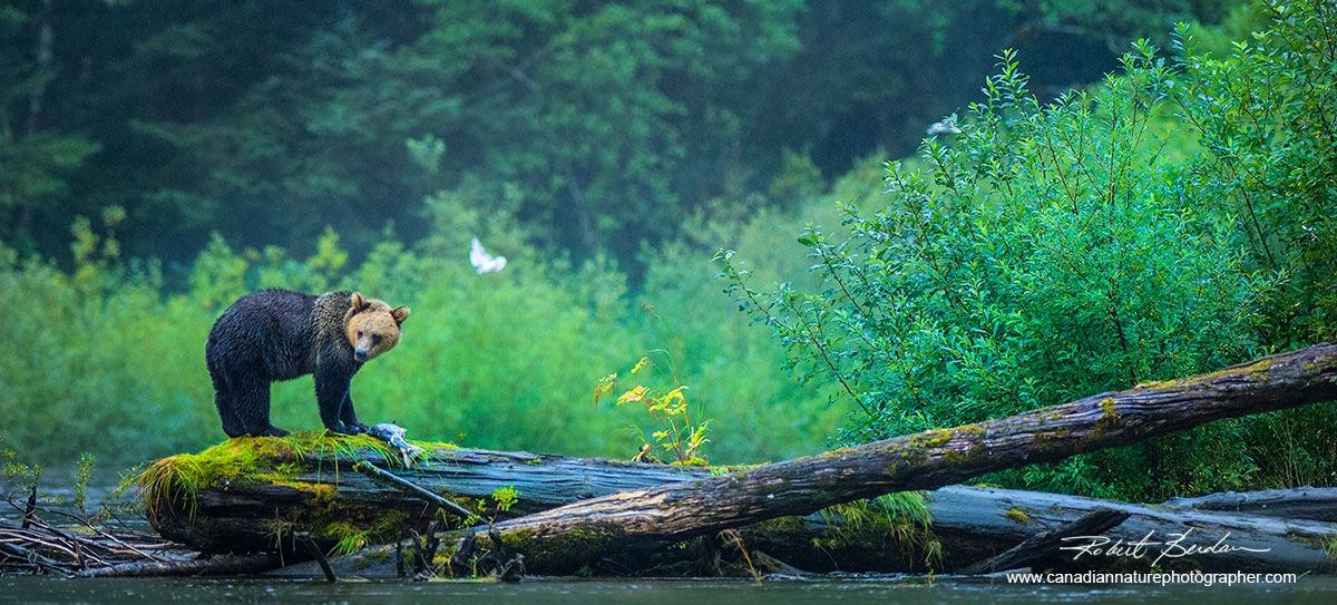 Grizzly Bear with Salmon, Great Bear Rainforest, British Columbia.  by Robert Berdan ©