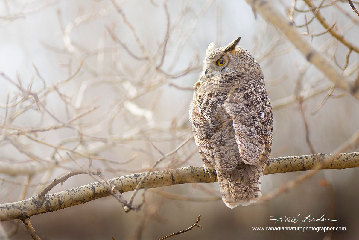 Great horned owl photographed near my home in Silversprings, Calgary, Alberta. by Robert Berdan ©