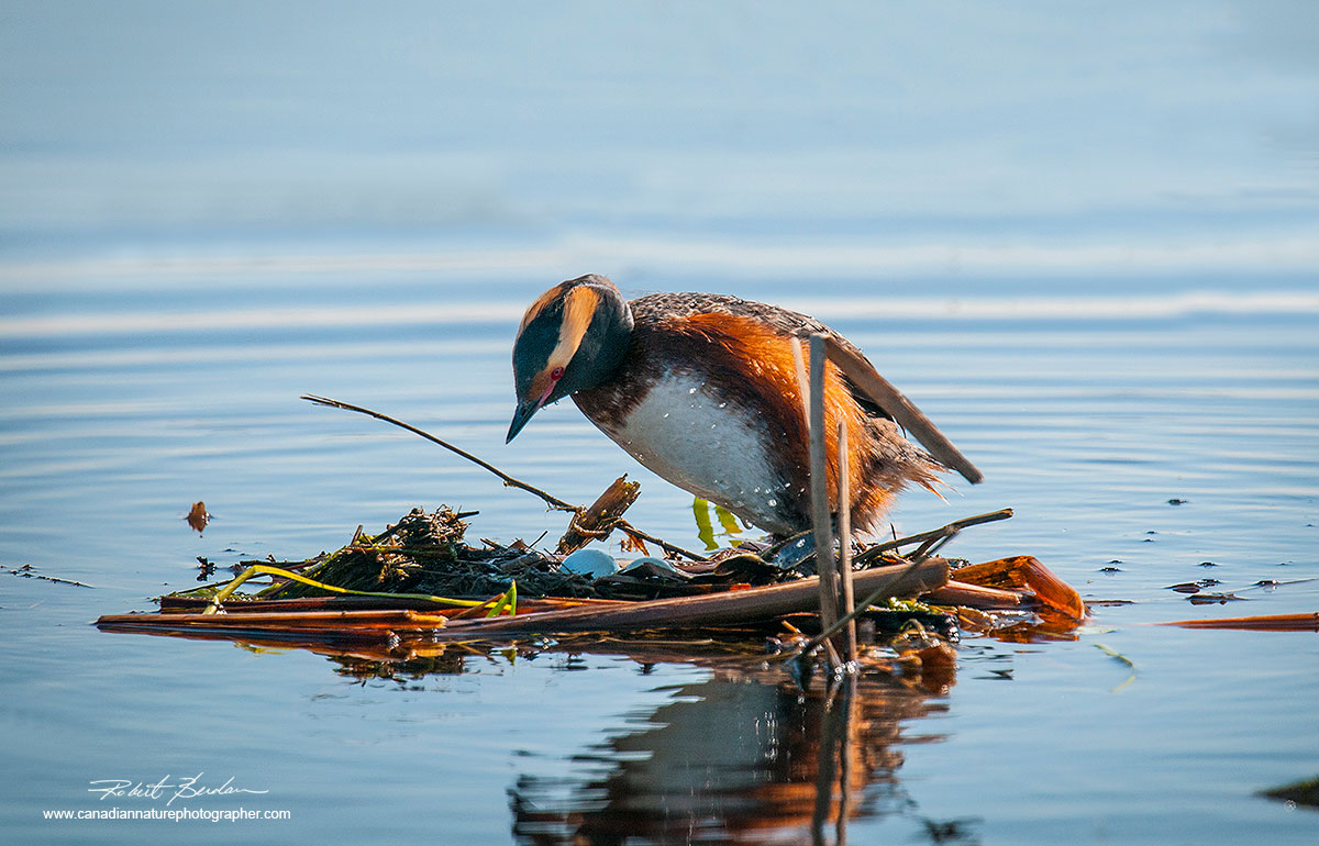 Horned Grebe (Podiceps auritus) at the nest with several eggs by Robert Berdan ©