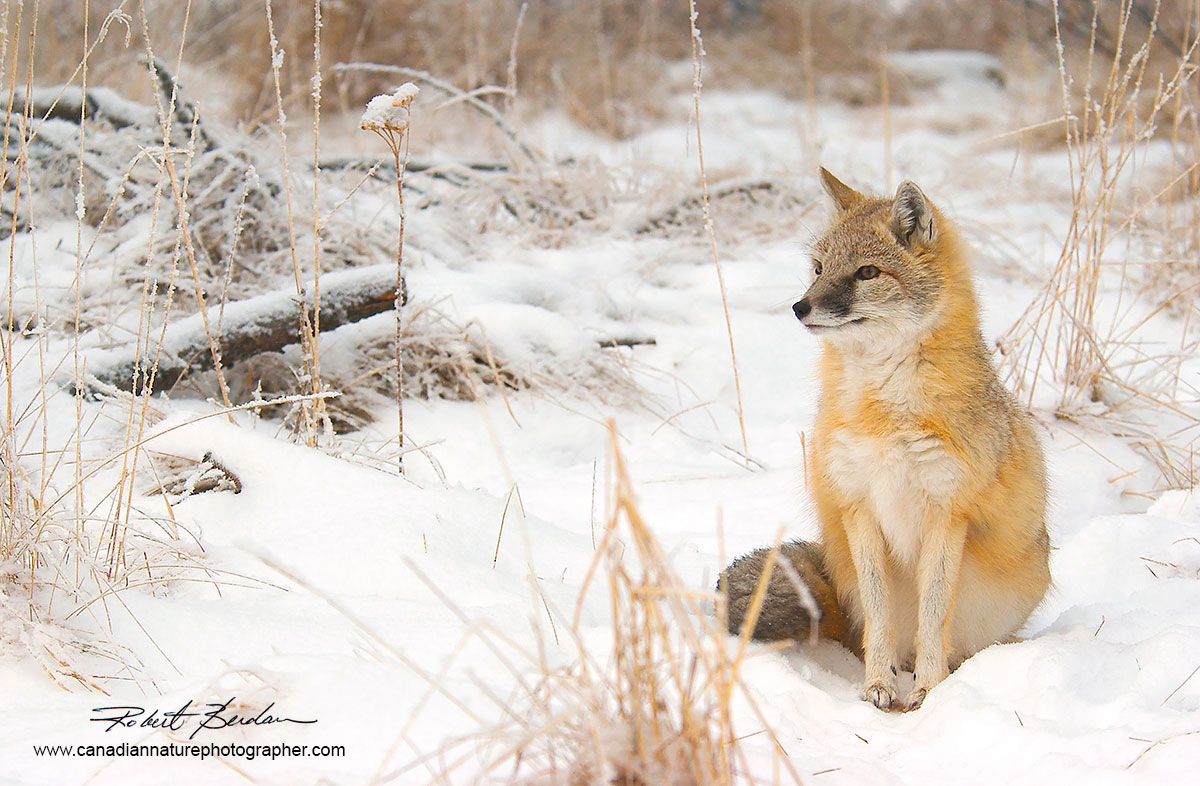 Swift Fox in winter by Robert Berdan ©
