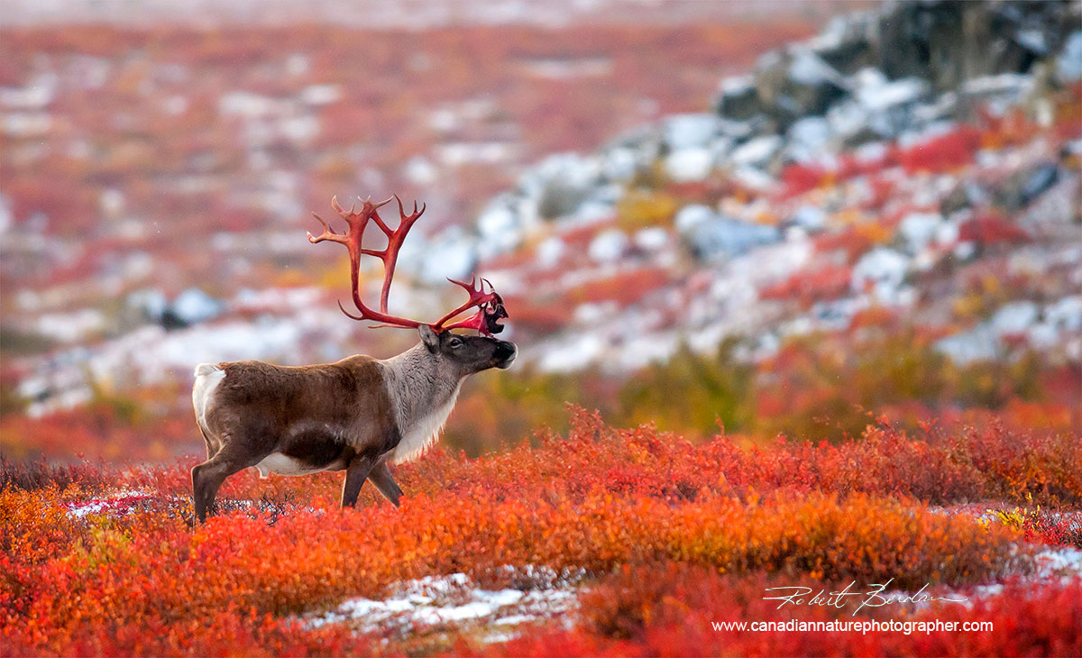 Caribou on the tundra in the Northwest Territories by Robert Berdan ©