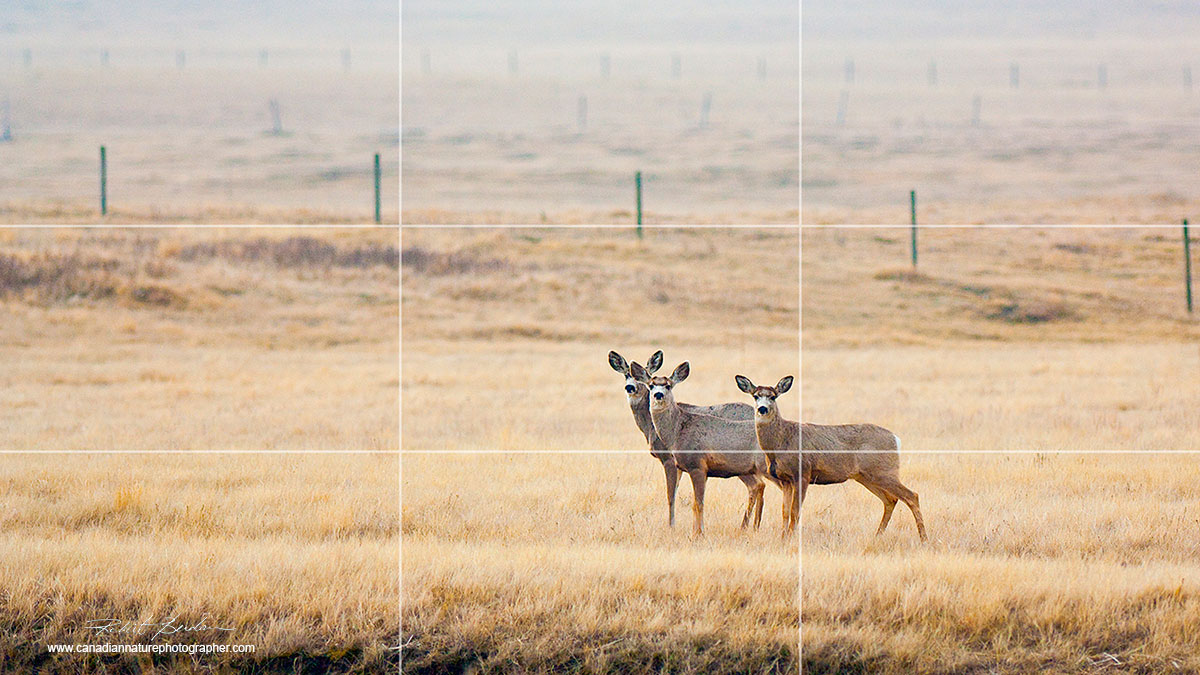 Three mule deer located at approximately 1/3 position in the picture - rule of thirds by Robert Berdan ©