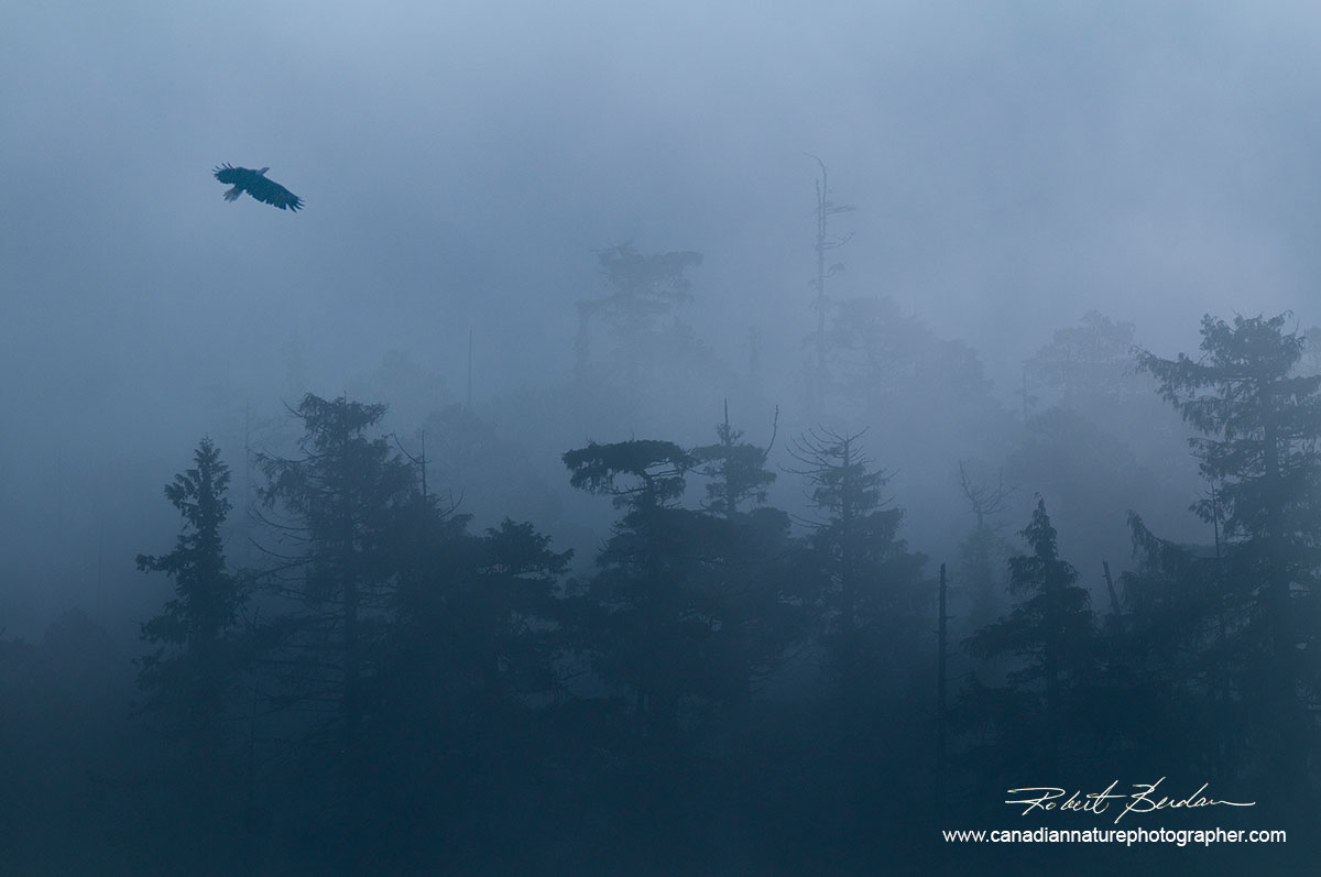 Eagle in early morning fog in the Great Bear Rainforest, British Columbia by Robert Berdan ©
