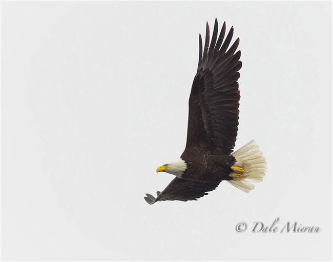Eagle in flight by Dr. Dale Mierau ©