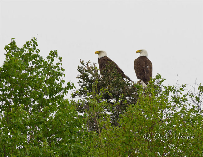 Pair of Eagles by Dr. Dale Mierau ©