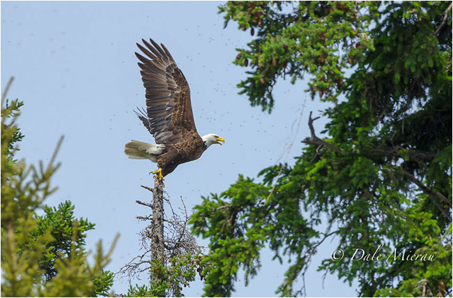 Eagle taking off by Dr. Dale Mierau ©