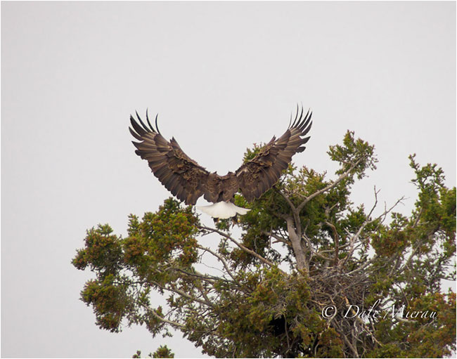 Eagle landing in Tree by Dr. Dale Mierau ©