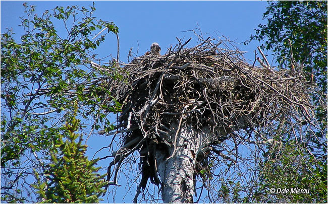 Bald eagle check in nest by Dale Mierau ©