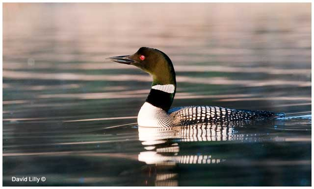 Common loon  by David Lilly ©