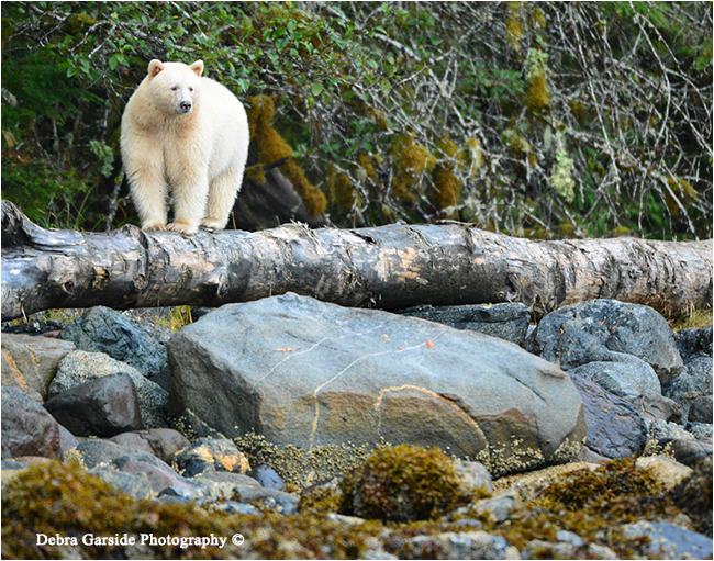 Spirit bear on the beach by Debra Garside ©