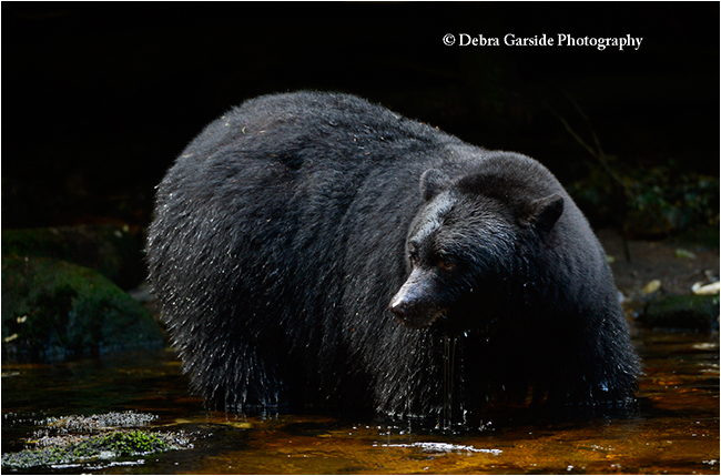 Black bear by Debra Garside ©