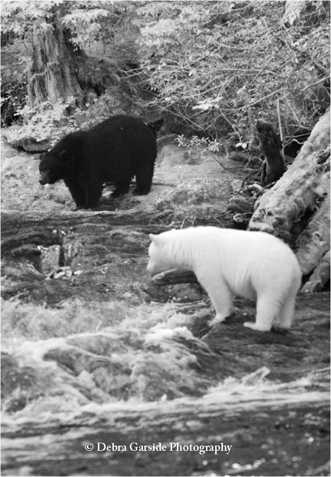 Black bear and spirit bear by Debra Garside ©