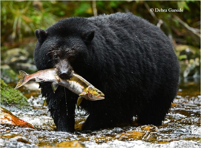 Black bear with Salmon by Debra Garside ©