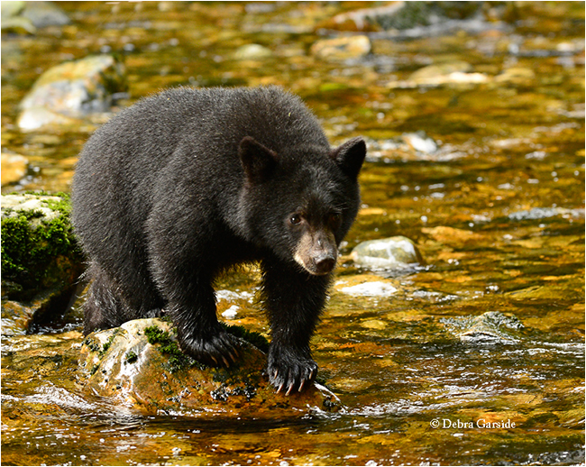 Black bear cub in temperate rainforest by Debra Garside ©
