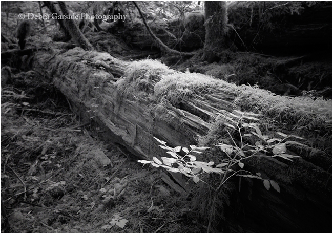 Fallen log by Infra red photography by Debra Garside  ©