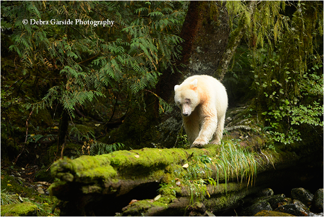 Spirit bear on favourite log by Debra Garside ©