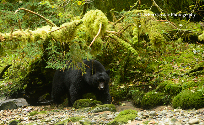 Formiadable Black bear by Debra Garside ©