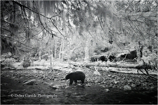 Black bear in rain forest infra red photography by Debra Garside ©