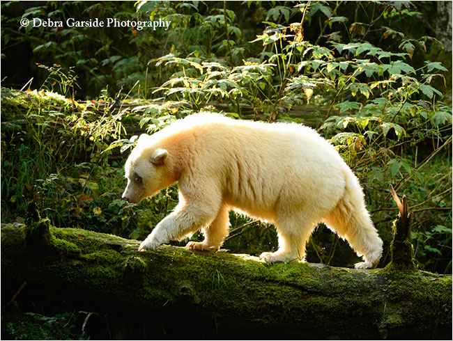 Spirit Bear by Debra Garside ©
