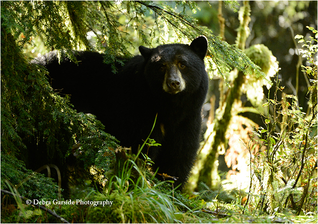 Mama black bear by Debra Garside ©
