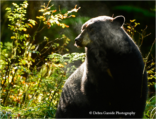 Misty bleack bear by Debra Garside ©