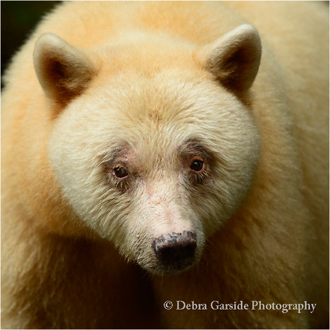 Portrait of Queen Spirit Bear by Debra Garside ©