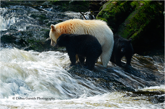 Spirit bear and cubs in waterfalls by Debra Garside ©