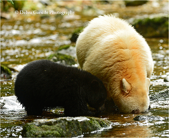 snorkeling for fish by bears in the great bear rainforest by Debra Garside ©