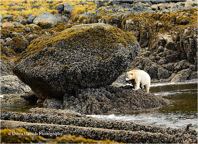 Spirit bear on beach by Debra Garside ©