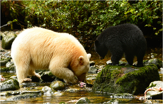 Spirit Bear by Debra Garside