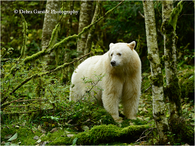Spirit bear king by Debra Garside ©