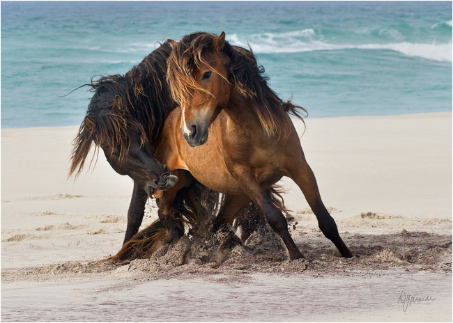 Tempest horses on beach Sable Island by Deb Garside