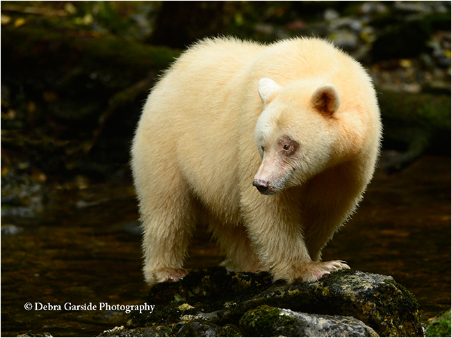 Queen 2 - spirit bear by Debra Garside ©