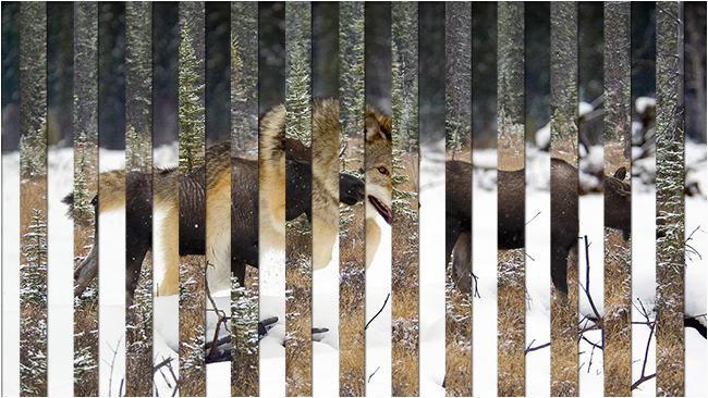 Wolf and Moose venetian blind photo by Robert Berdan ©