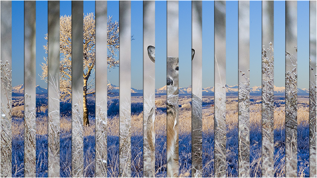White-tailed deer and Rocky Mountain foothills venetian blind photo by Robert Berdan ©