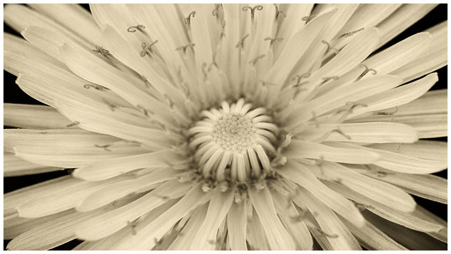 Common dandelion by Robert Berdan sepia toned ©