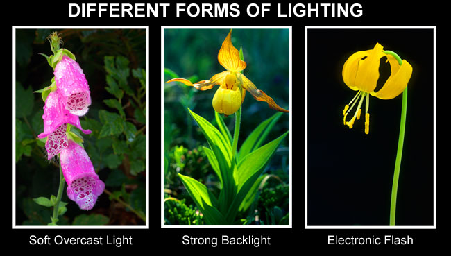Different forms of lighting for flowers by Robert Berdan ©