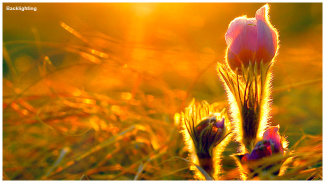 Back lit prairie crocus by Robert Berdan ©
