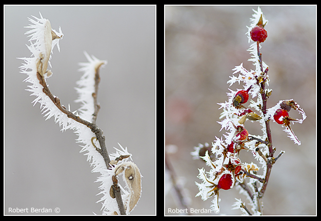Ice crystals on leavces and rose hips by Robert Berdan ©