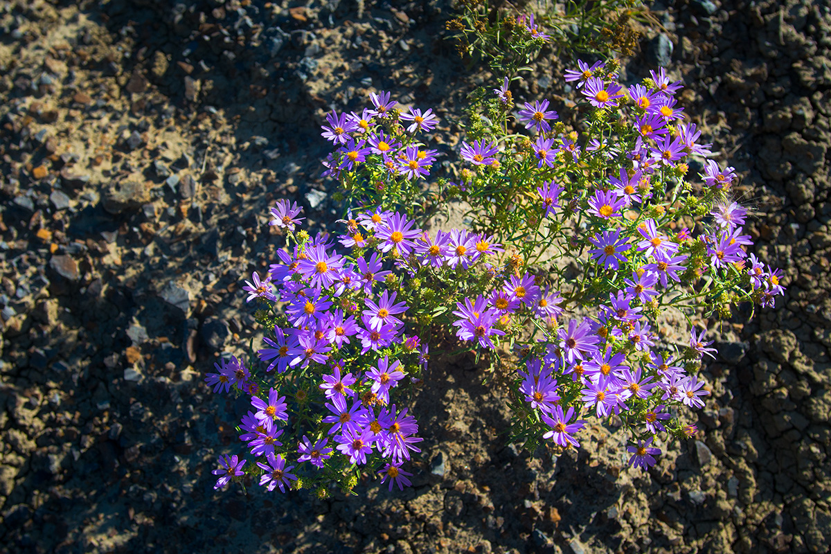Smooth Blue American-Aster (Symphytrichum laeve) by Robert Berdan ©