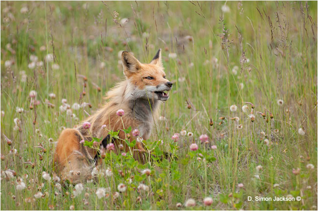 Red Fox by D. Simon Jackson ©