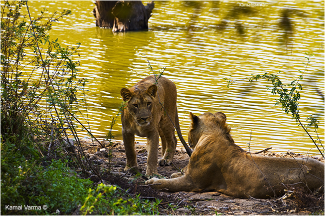 Lions in Bannerghatta National Park by Kamal Varma